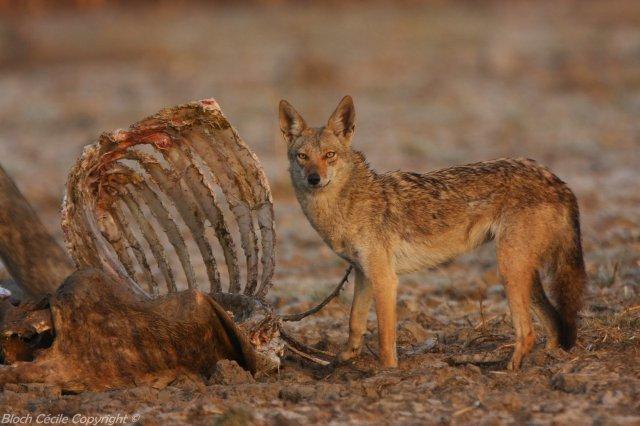 Loup Africain